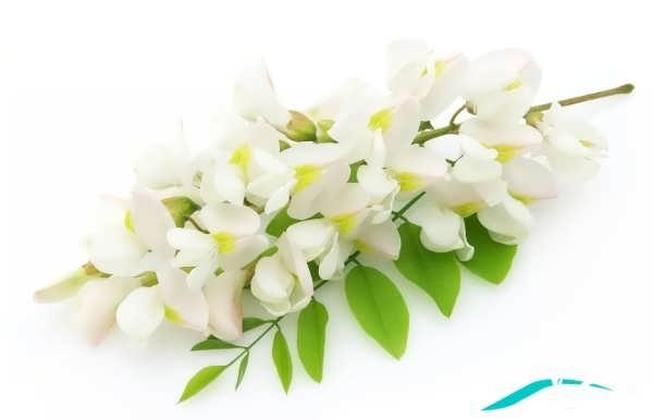 گل یاس زیبا سفید