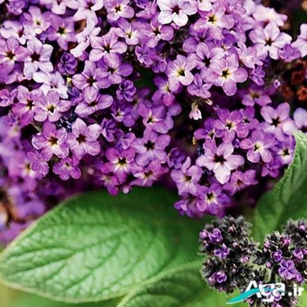 عکس انواع گل یاس سفید