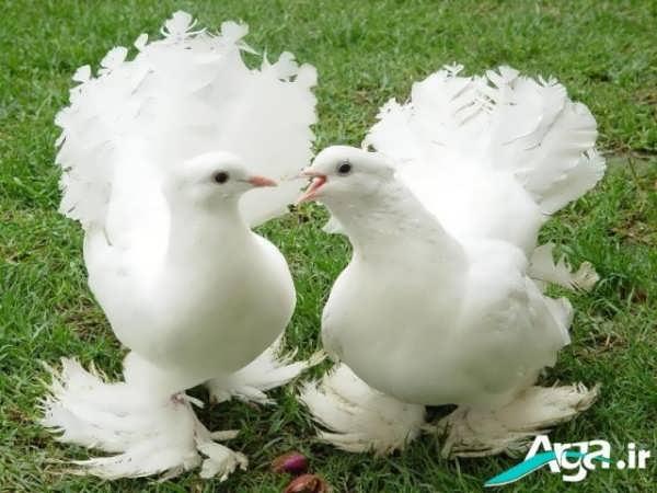 عکس از یک جفت کبوتر