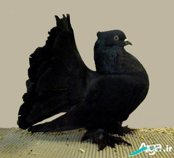 کبوتر مشکی