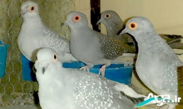 گونه های مختلف کبوتر