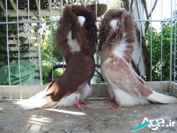 عکس زیبا جفت کبوتر