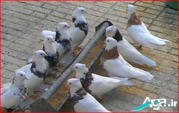 عکس کبوتر در حال تغذیه