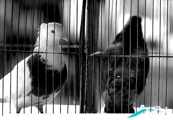 عکس سیاه و سفید از کبوتر