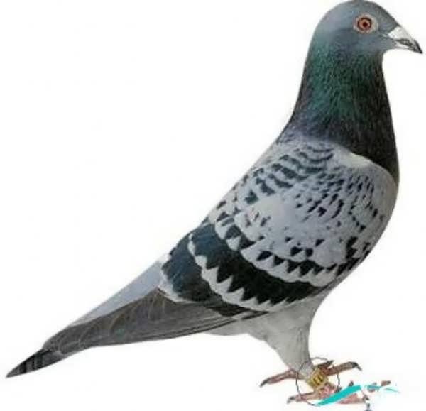 کبوتر با رنگی بسیار زیبا