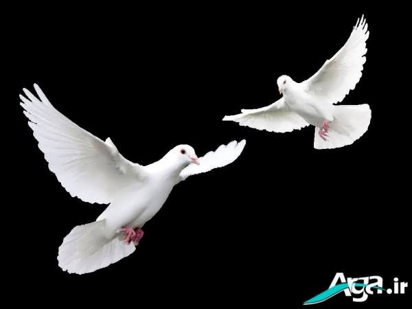 کبوتران زیبا در حال پرواز