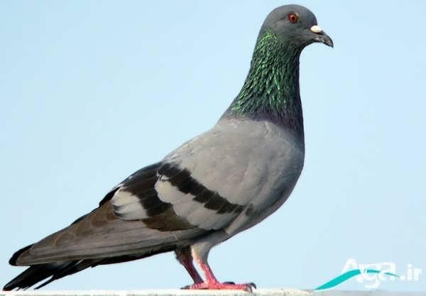 عکس بسیار زیبا از کبوتر