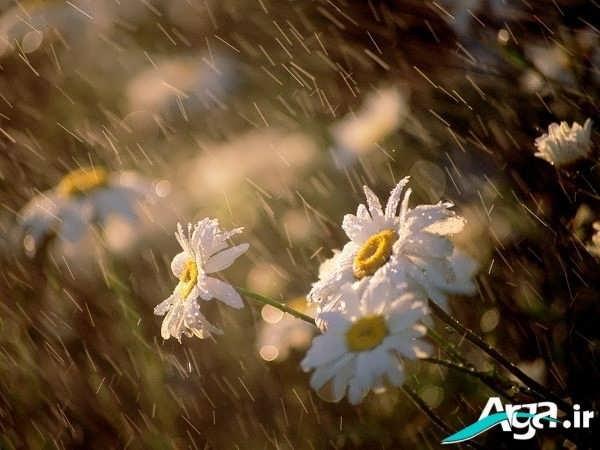 تصاویر گل و باران