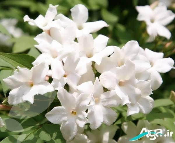 انواع گل یاس
