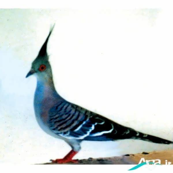 عکس زیبا از کبوتر