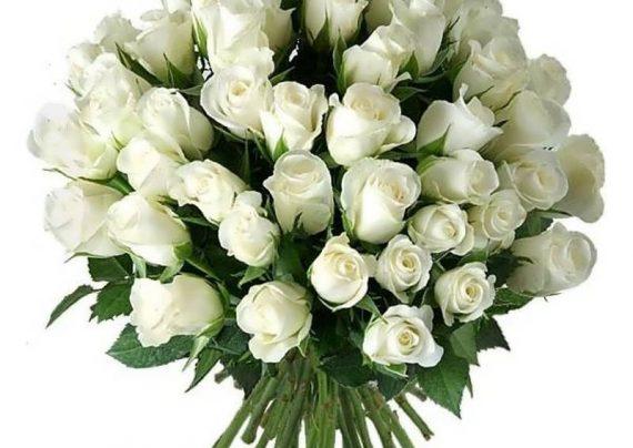 عکس گل رز سفید زیبا