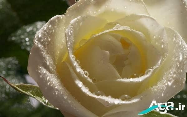 عکس گل رز باز شده