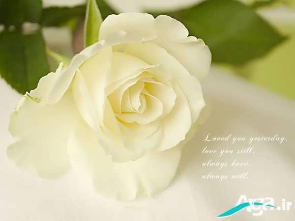 عکس گل رز سفید بسیا زیبا