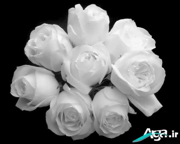 گل رز سفید نماد پاکی