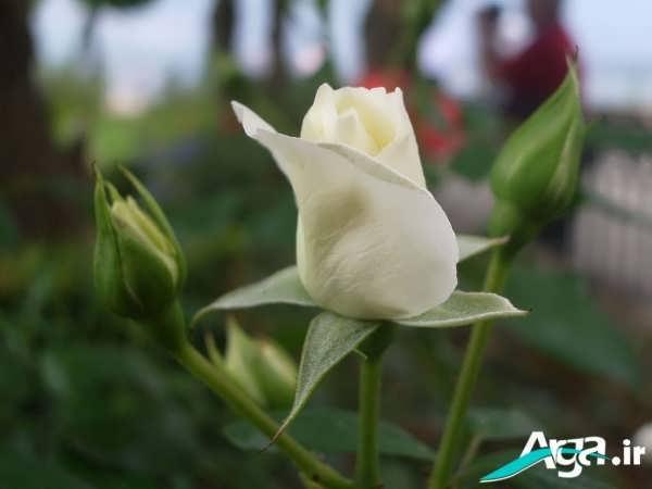 غنچه گل رز سفید