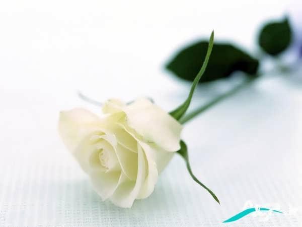 عکسی از گل رز سفید