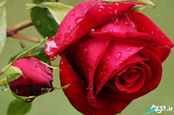 گل سرخ عاشقانه