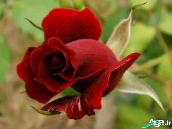 عکس های گل سرخ
