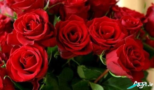 عکس گل قرمز