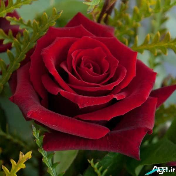 گل سرخ زیبا