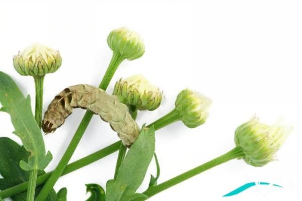 عکس غنچه گل بابونه