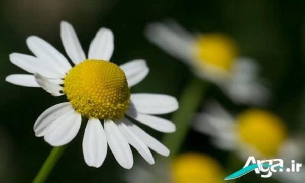 عکس گل بابونه معطر و زیبا