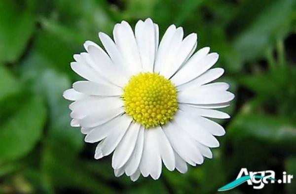 زیباترین گالری عکس گل بابونه