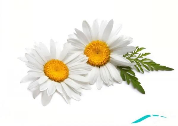 عکس گل بابونه