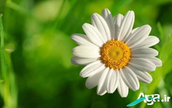 عکس گل بابونه خوشبو
