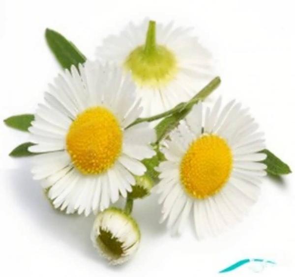 گالری عکس گل بابونه