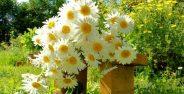 عکس گل بابونه معطر و خوشبو