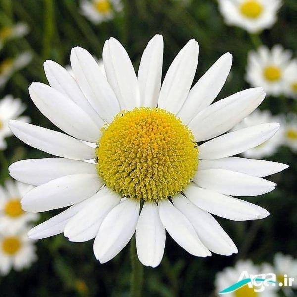 عکس گل بابونه باز