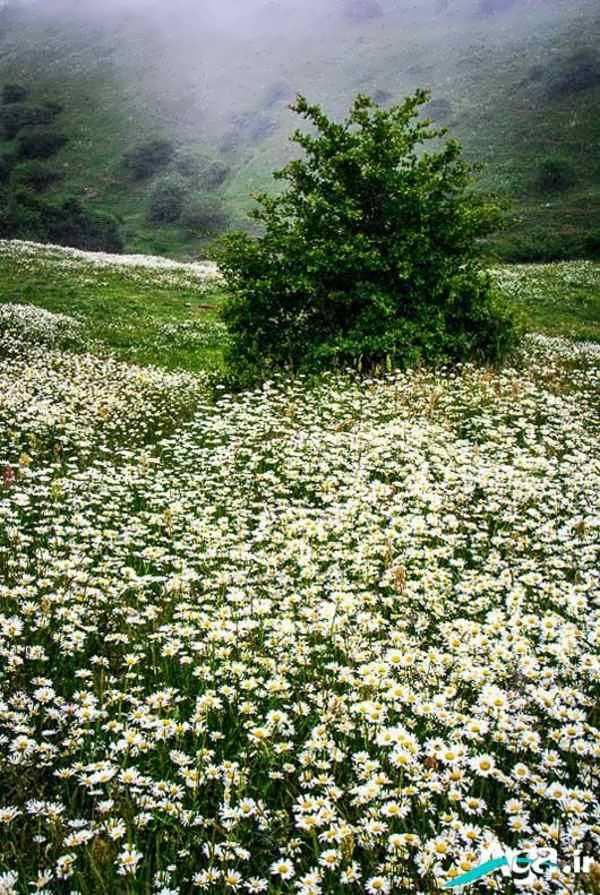 دشت گل بابونه