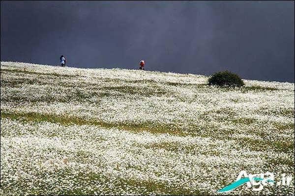 تصویر زیبا از دشت گل بابونه
