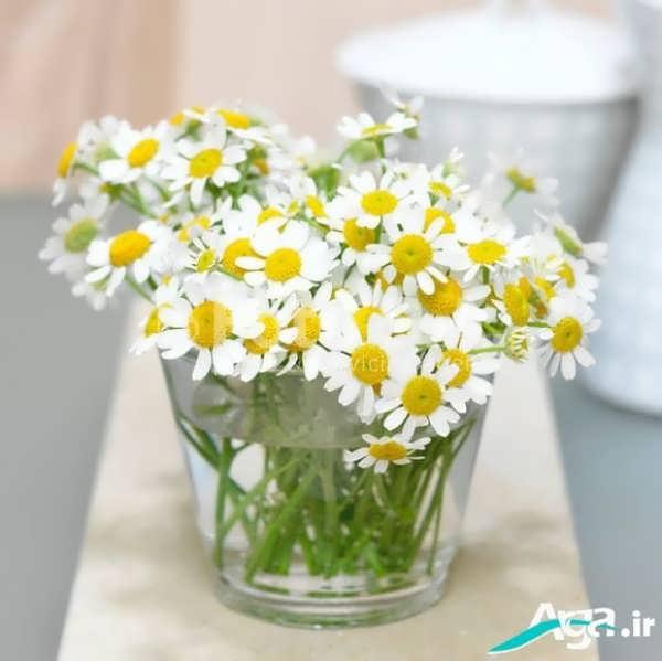 تصاویر دسته گل های بابونه