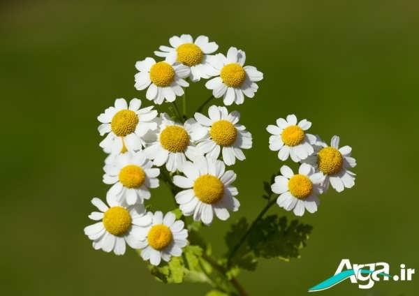 دسته گل های بابونه