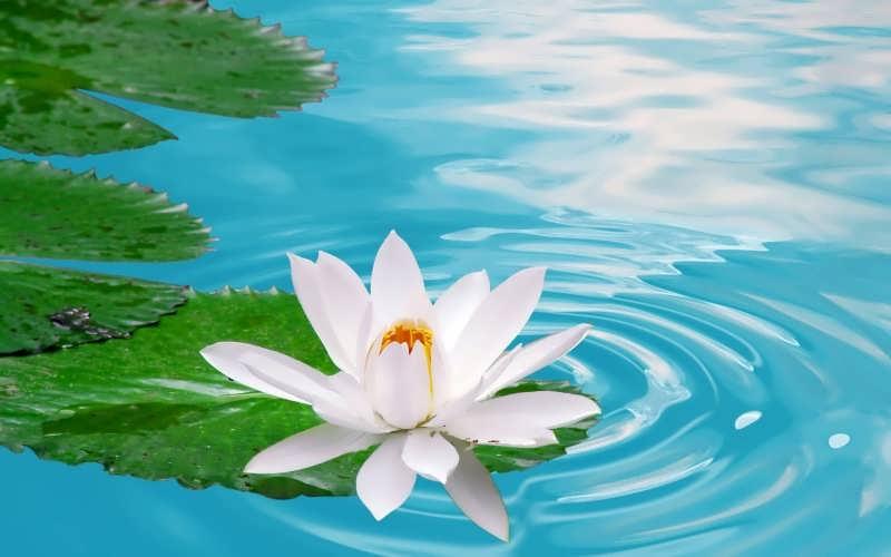 مجموعه عکس گل نیلوفر زیبا و شاداب در طبیعت