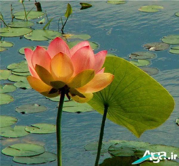 عکس گل نیلوفر خوش رنگ
