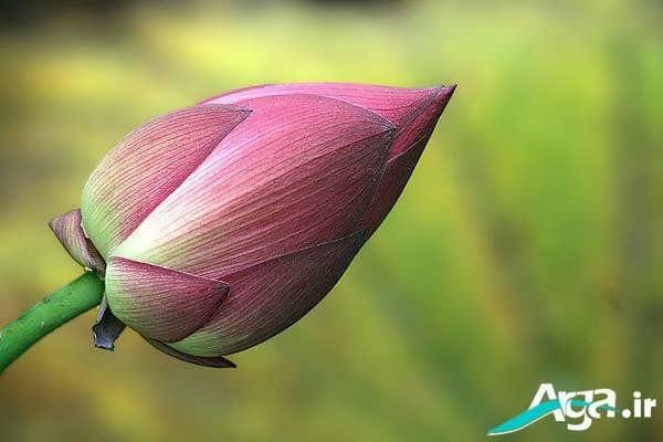 غنچه گل نیلوفر