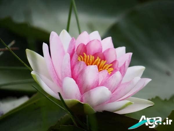 گل های نیلوفر فوق العاده زیبا