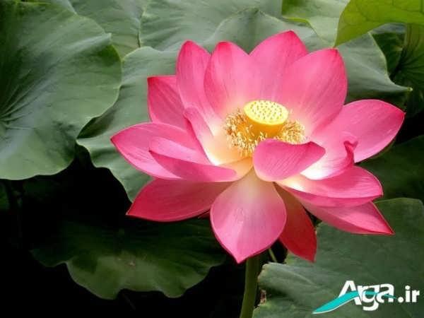 عکس جدید گل نیلوفر زیباغ