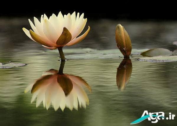 عکس گل نیلوفر آبی