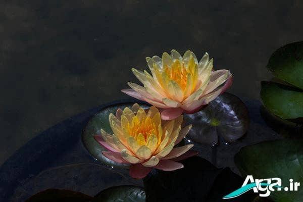 عکس گل های نیلوفر