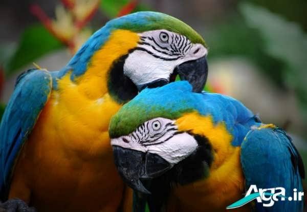 طوطی های زیبا