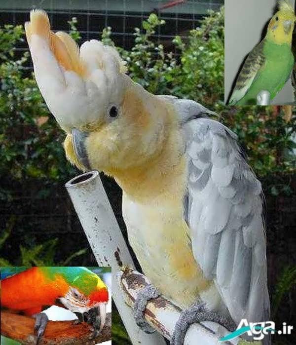 عکس طوطی سفید