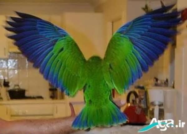 طوطی در حال پرواز