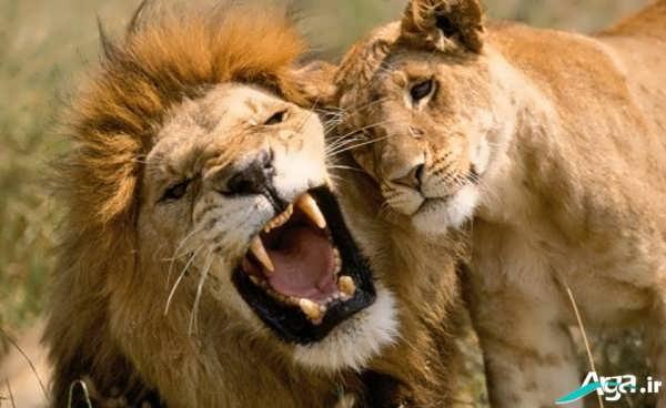 شیر سلطان جنگل