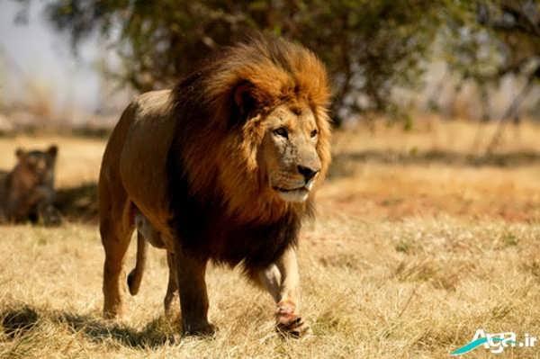 شیر نر در جنگل