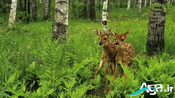 عکس دو بچه آهو