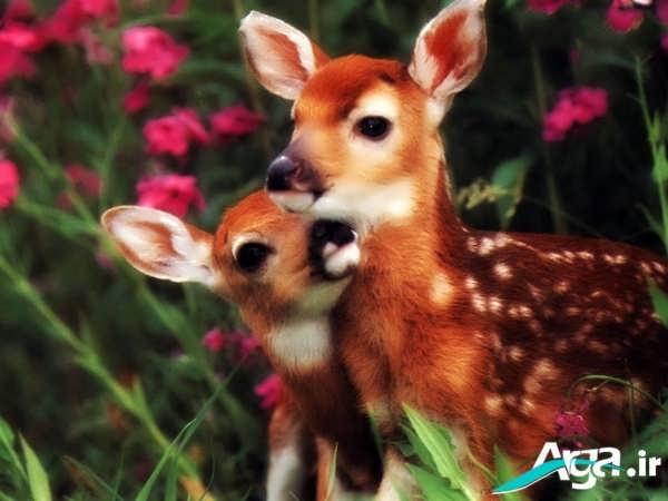 عکسی بسیار زیبا از بچه آهو ها